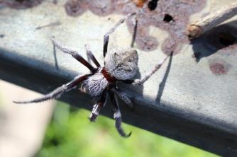 Spider identification