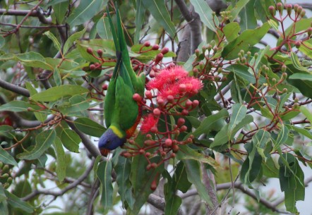 IMG_3896 lorikeet edit_edited-1
