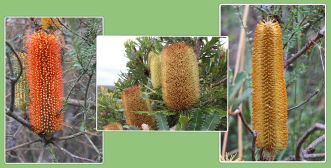 banksia boy collage