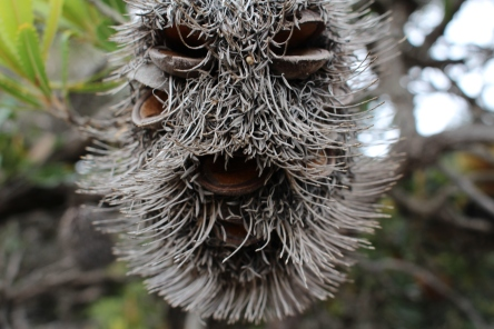 banksia man awake