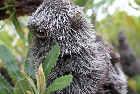 grumpy banksia man