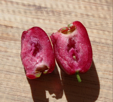 lillypilly seed