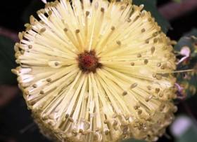 banksia macro v2